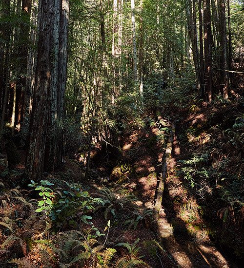 Forests of Mendocino